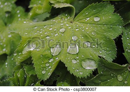 Picture of Ladys mantle (alchemilla vulgaris) with water drops.