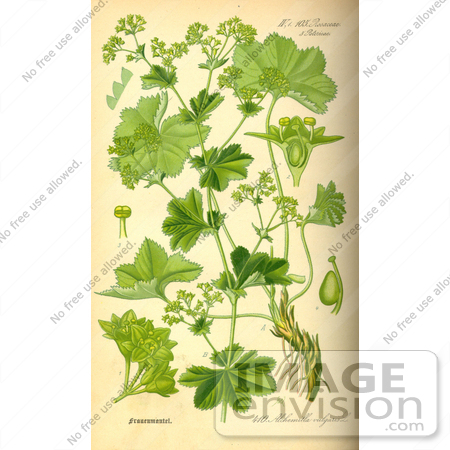 Picture of Lady's Mantle, Lions Foot, Common Lady's Mantle, Bear's.