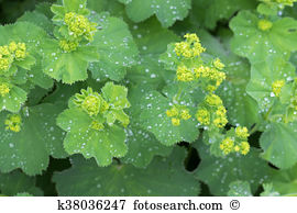 Alchemilla vulgaris Stock Photos and Images. 56 alchemilla.