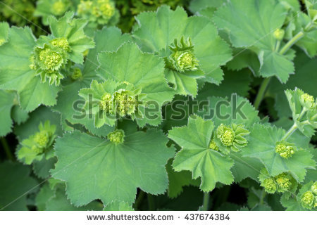 Alchemilla Vulgaris Stock Photos, Royalty.