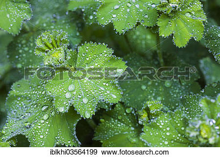 "Stock Photograph of ""Lady's Mantle (Alchemilla vulgaris), rain."