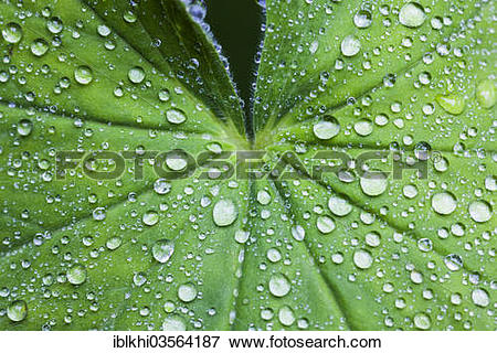 "Picture of ""Lady's Mantle (Alchemilla vulgaris), rain drops on a."