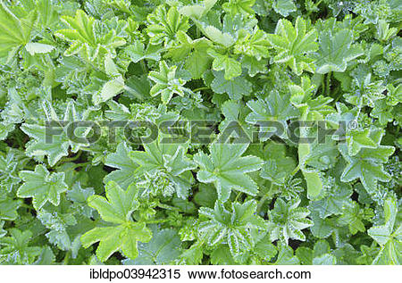 "Stock Image of ""Lady's Mantle (Alchemilla sp.) with dew drops."
