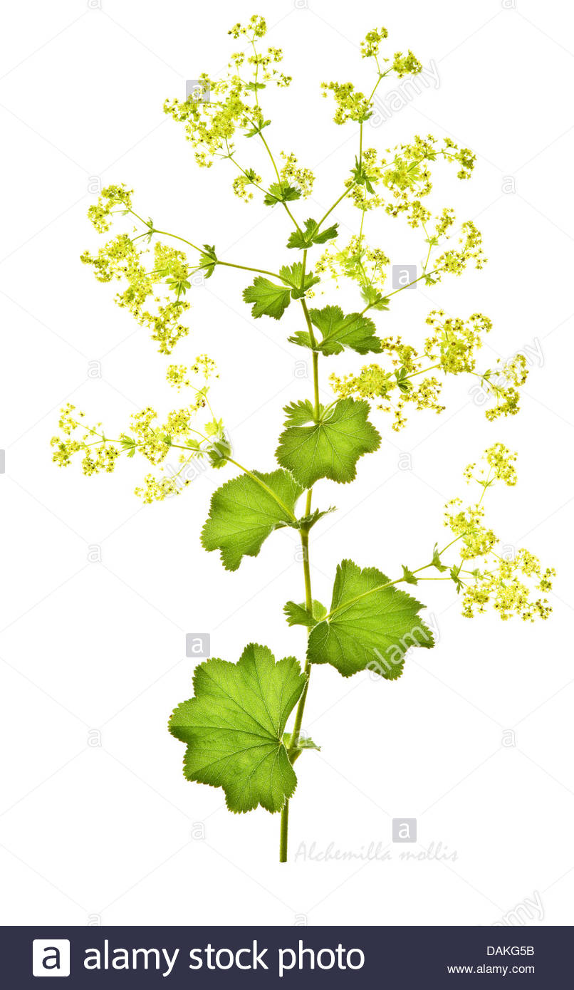 Lady's Mantle (alchemilla Mollis) Agm Flowers And Leaves On The.