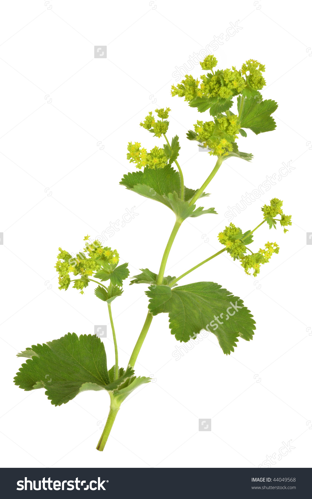 Ladys Mantle Herb Flowers Isolated Over Stock Photo 44049568.