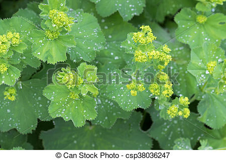 Stock Photo of Lady's mantle leaves and yellow flower buds with.