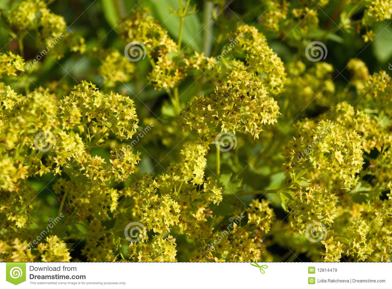 Lady's Mantle (Alchemilla Vulgaris) Royalty Free Stock Images.