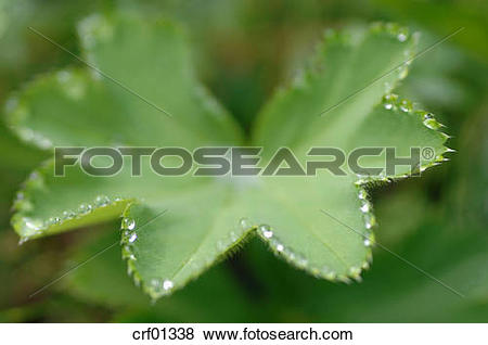 Pictures of Water droplets on Lady's mantle (Alchemilla vulgaris.