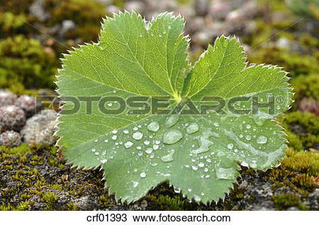 Stock Photo of Water droplets on leaf of lady's mantle (Alchemilla.