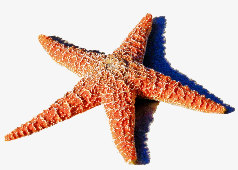 Red Starfish Png 1459k Clipart Panda Free Clipart Images.