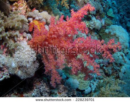 Octocorals: Stock Photos, Royalty.