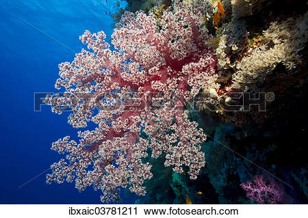 """Stock Photography of """"Soft Coral (Alcyonacea), Red Sea, Egypt."""