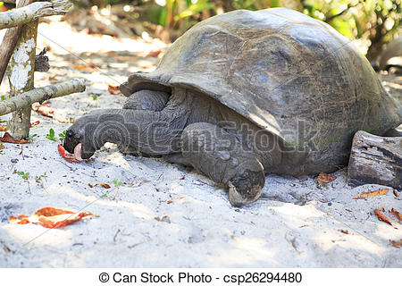 Pictures of Aldabra giant tortoise eats leaves. Island Curieuse in.