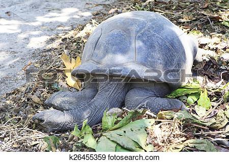 Aldabra giant tortoise clipart.