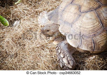 Stock Images of Aldabra giant tortoise (Aldabrachelys gigantea.
