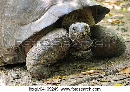 Stock Photograph of Aldabra Giant Tortoise (Aldabrachelys gigantea.