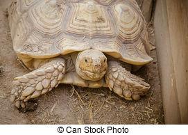 Stock Photography of Aldabra giant tortoise (Aldabrachelys.