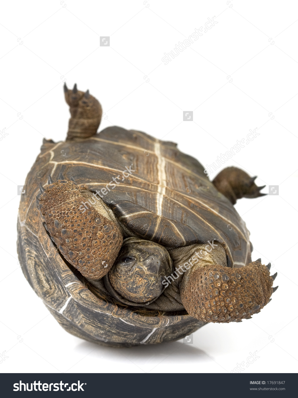 Aldabra Giant Tortoise Geochelone Gigantea On Stock Photo 17691847.