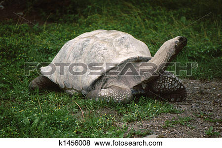 Pictures of Tortoise, Aldabra Giant G.