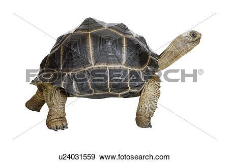 Stock Photograph of Aldabra Tortoise, Turtle u24031559.