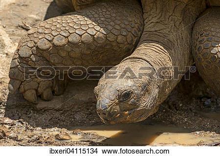 Stock Photo of Aldabra giant tortoise (Aldabrachelys gigantea.