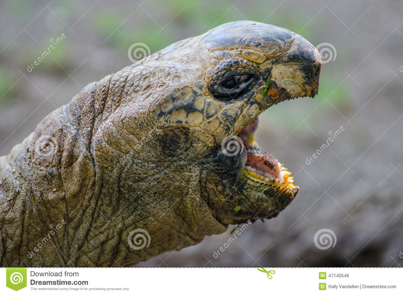 Aldabra Tortoise With Open Mouth Stock Photo.