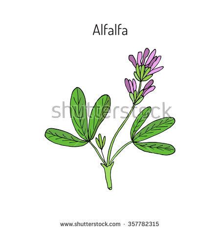 Alfalfa Stock Photos, Royalty.