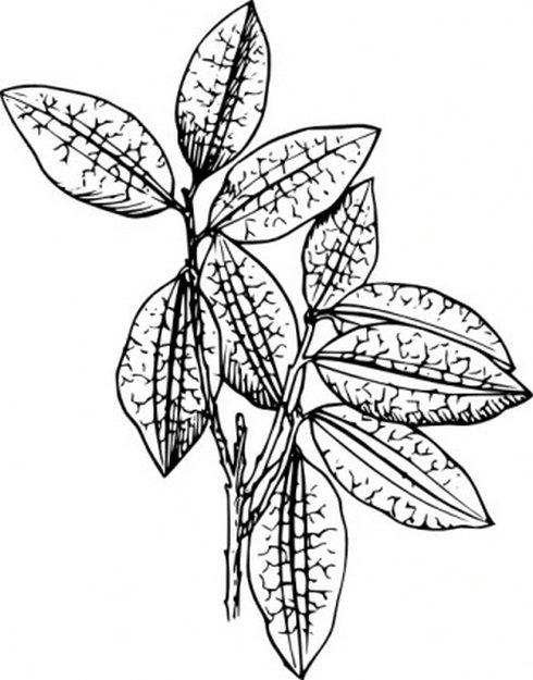 Coca Plant Clip Art.