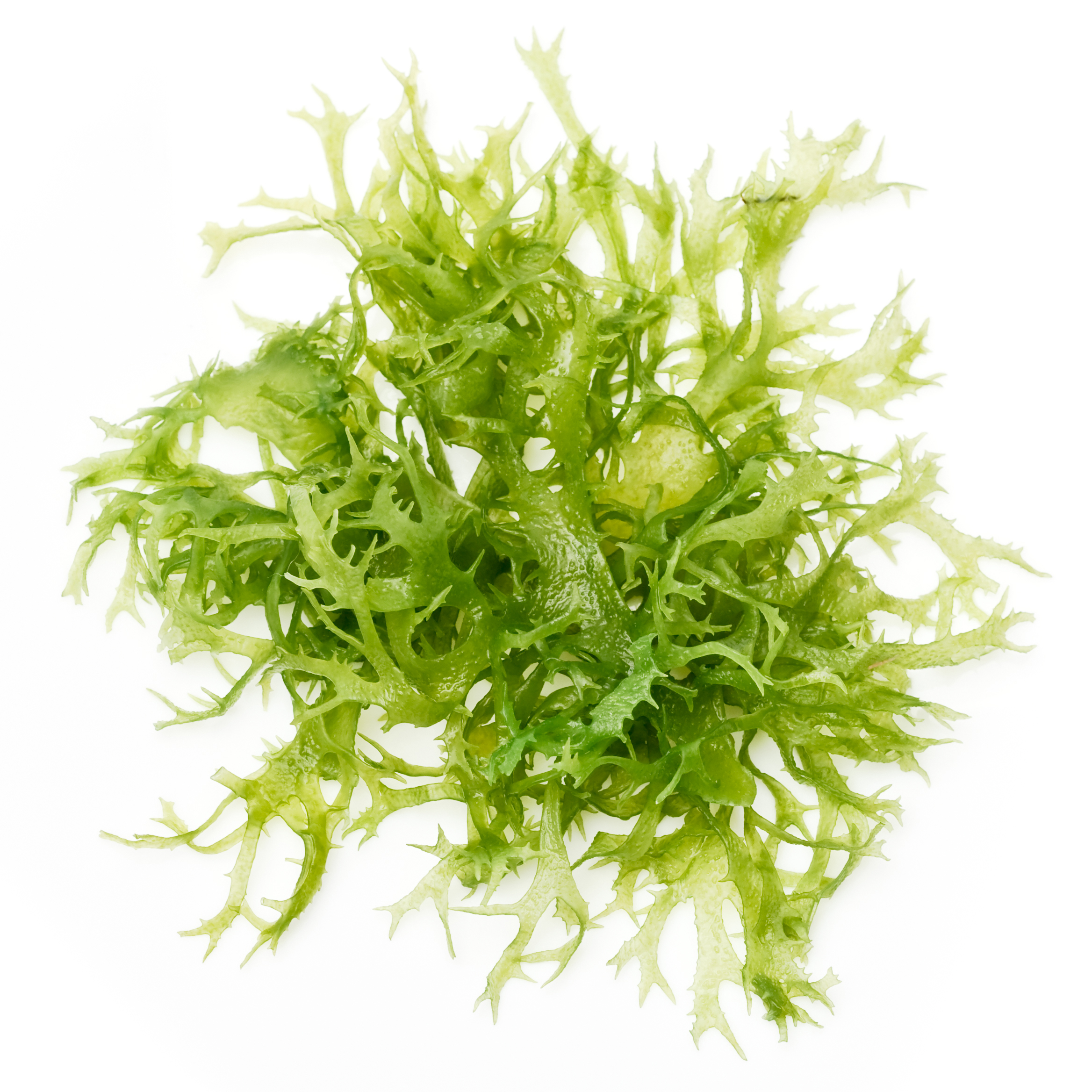 Ocean Algae Clipart.