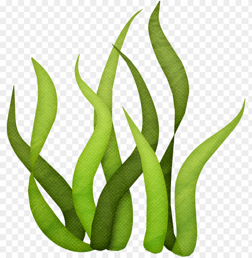 vector free algae clipart giant kelp.