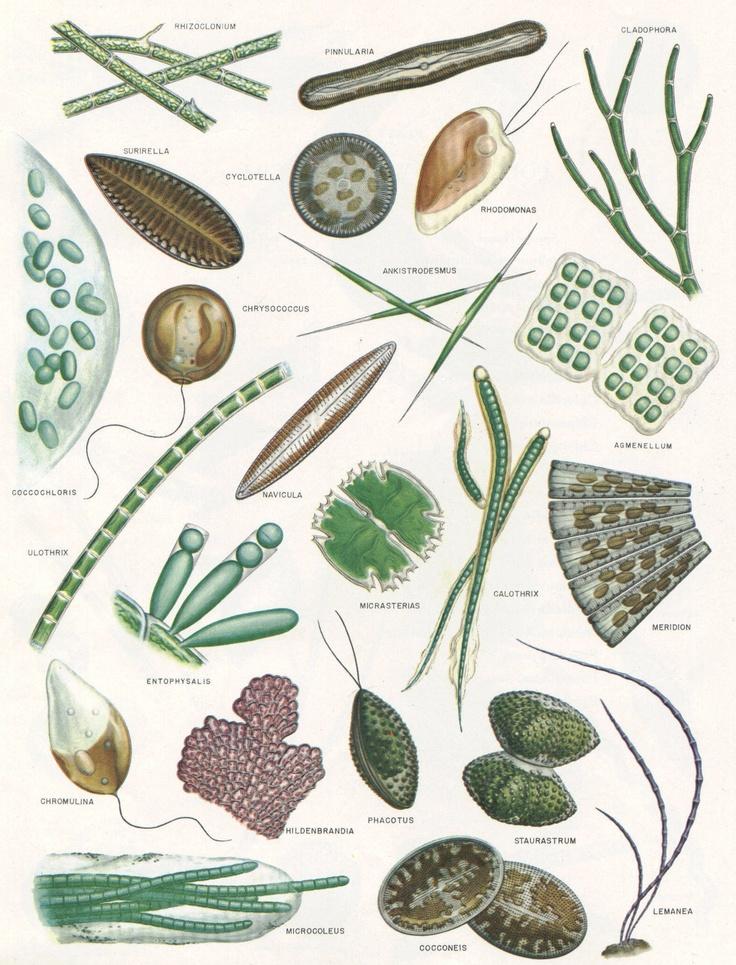 1000+ images about algae on Pinterest.