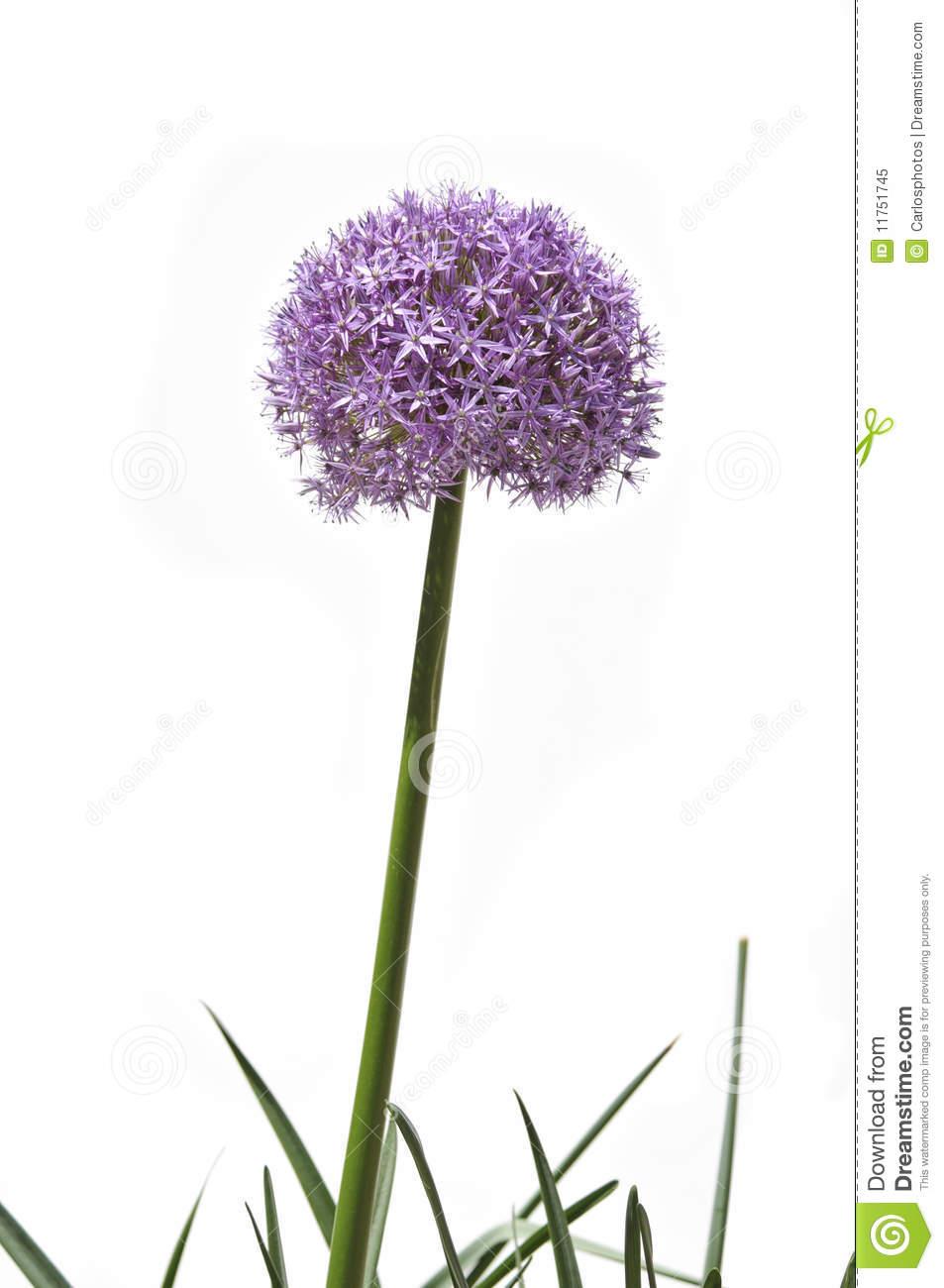 Allium Flower Clip Art.