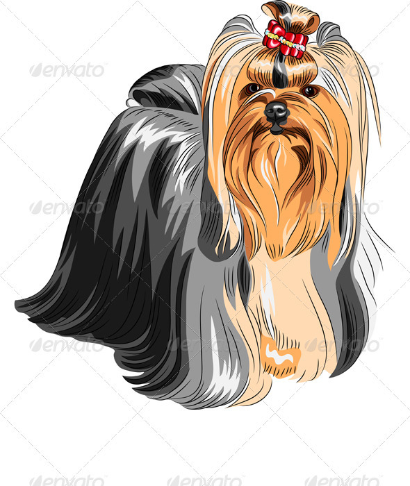Clipart of vector pedigreed dog Yorkshire terrier.