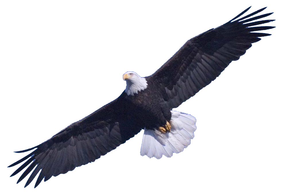 Bald Eagle PNG Transparent Images.