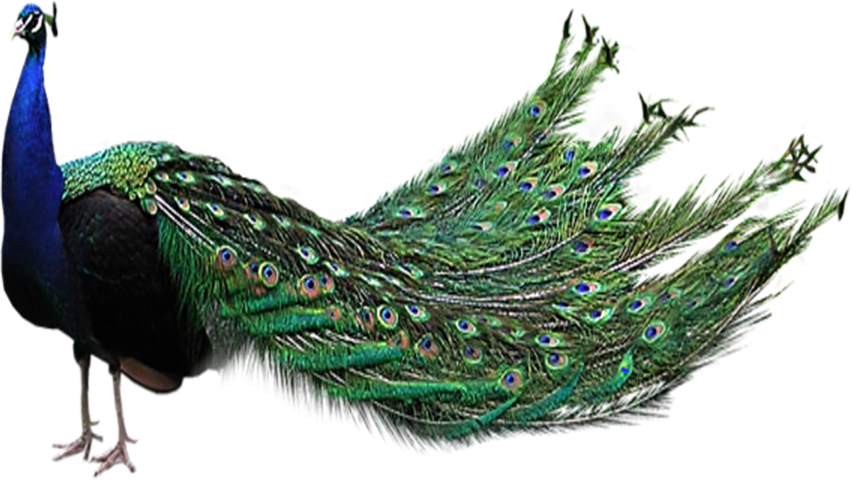 Download Peacock PNG File.