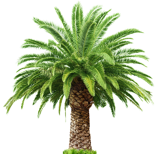 Date Palm PNG Transparent Date Palm.PNG Images..