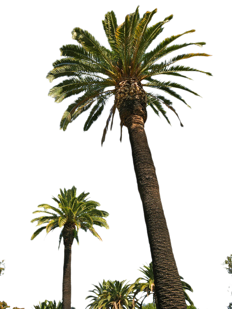 Download Palm Tree Png Picture HQ PNG Image.