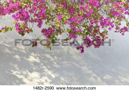 Stock Photography of Bougainvillea on wall, San Miguel de Allende.