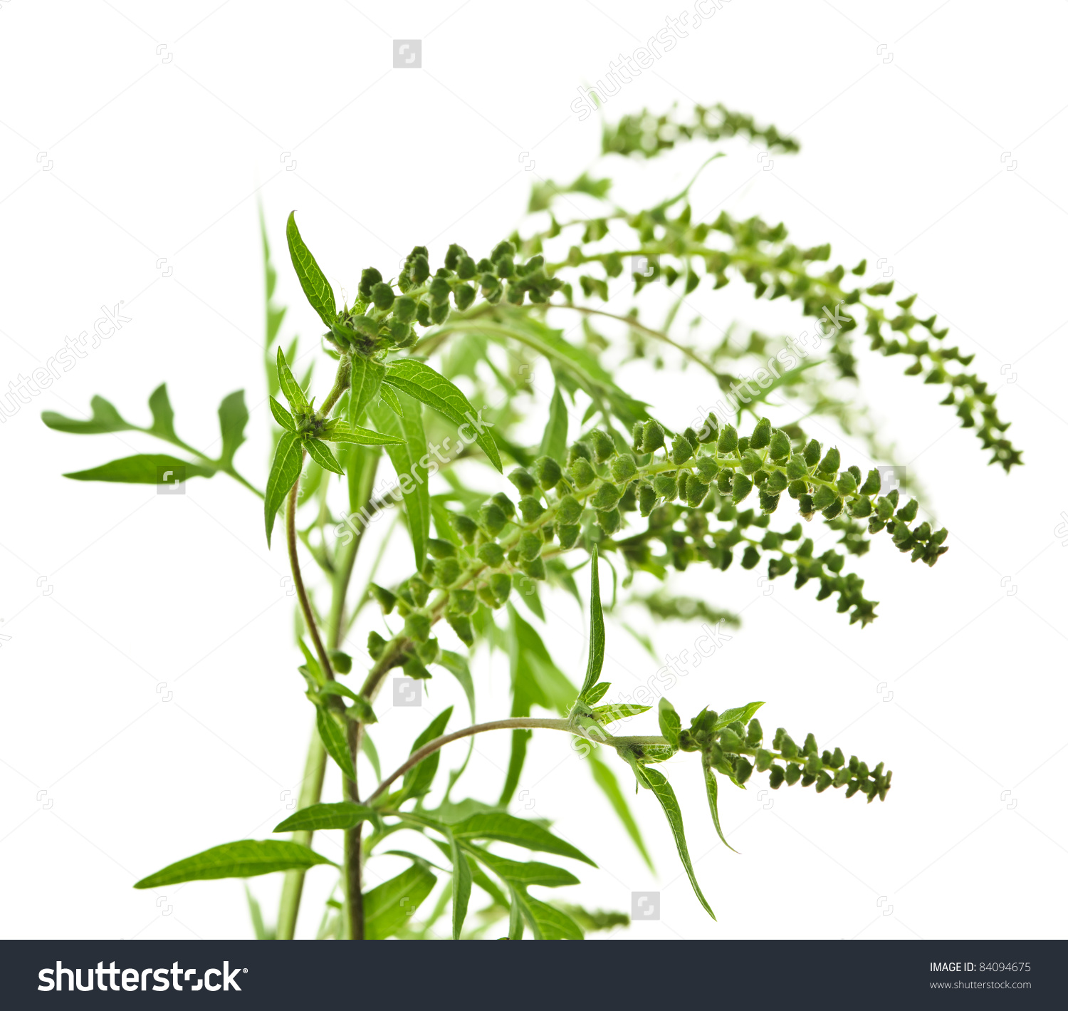 Ragweed Plant In Allergy Season Isolated On White Background.