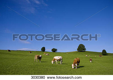Stock Photography of Cows grazing on pasture, Allgau, Germany.