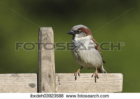 "Pictures of ""House Sparrow (Passer domesticus), male, Allgau."