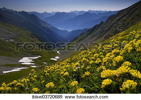 """Stock Photograph of """"Common Kidneyvetch or Woundwort (Anthyllis."""