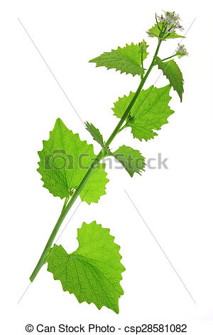 Pictures of Garlic mustard (Alliaria petiolata).