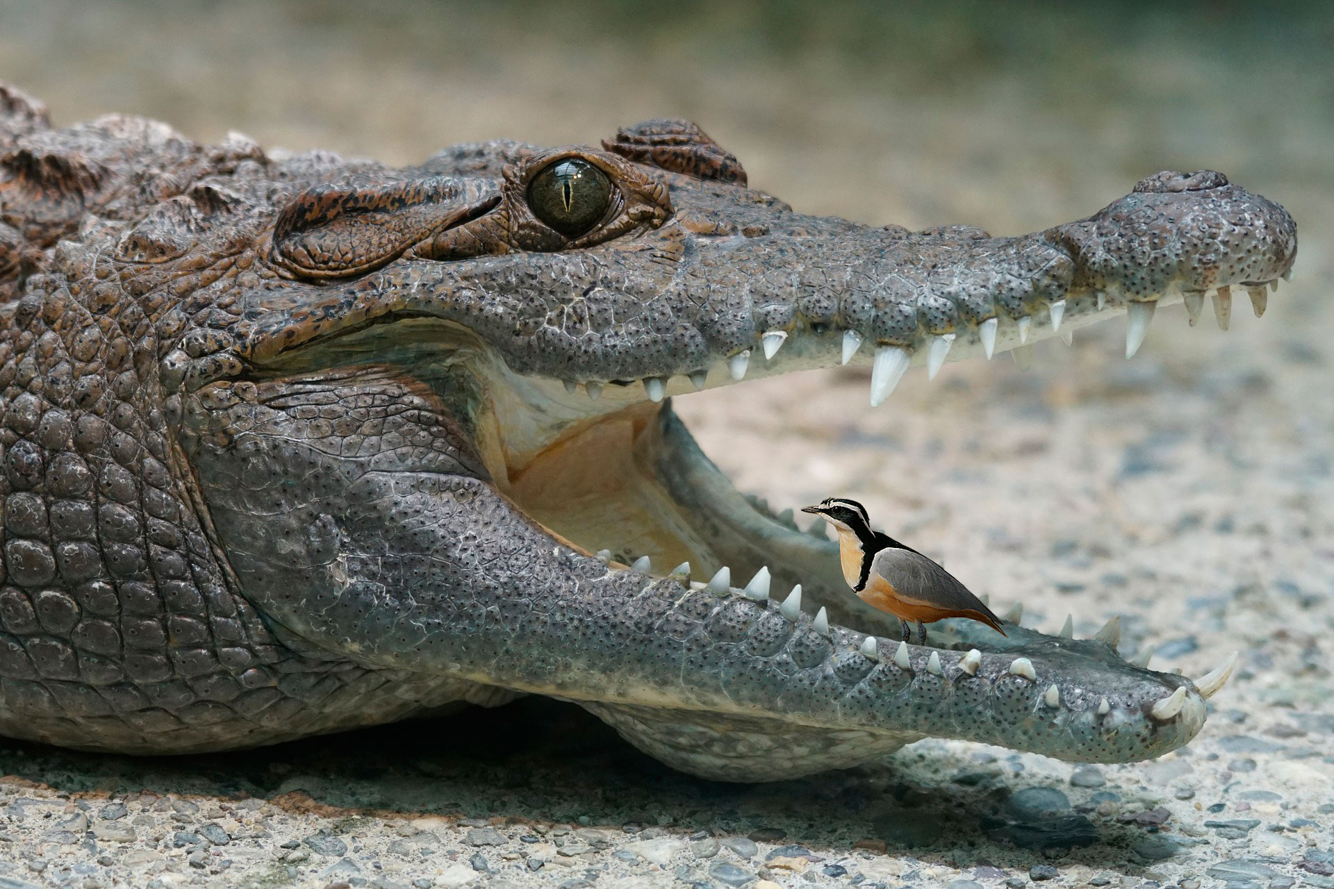 Crocodile and the Plover Bird.