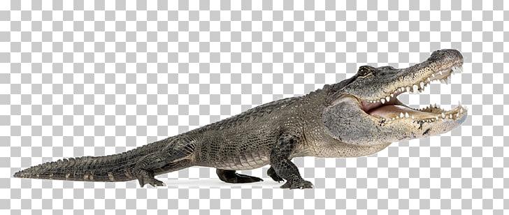 Nile crocodile American alligator Reptile Alligators.