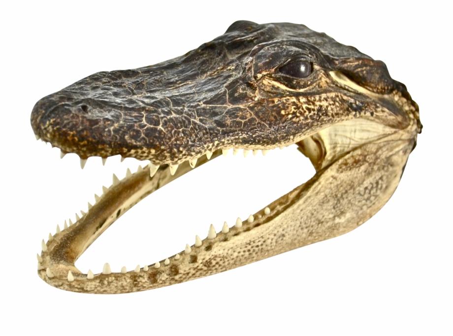 Alligator Head Png.