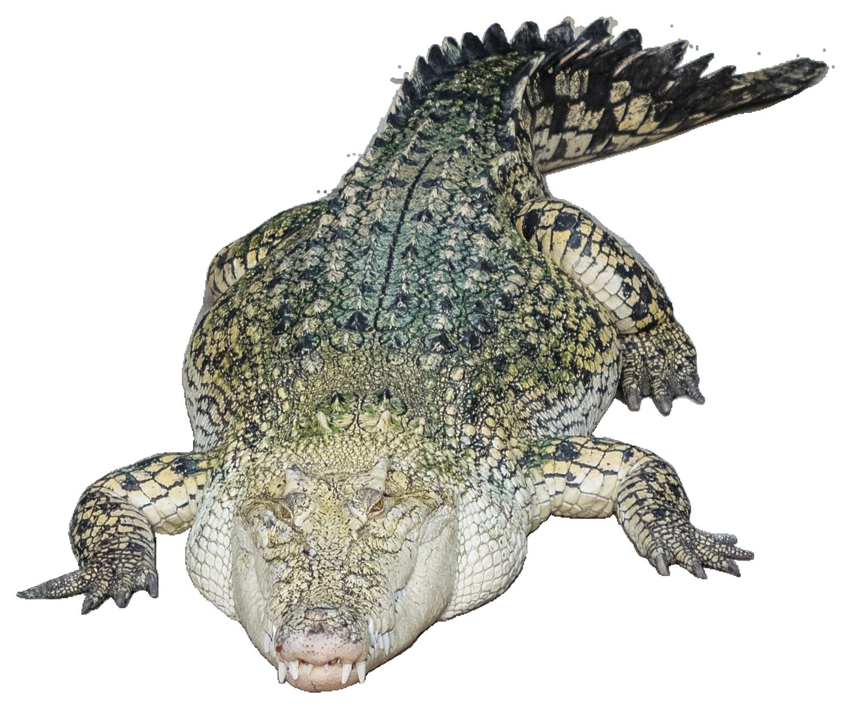 Crocodile Head PNG Image.
