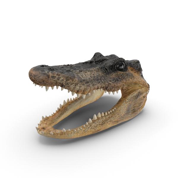 Alligator Head PNG Images & PSDs for Download.