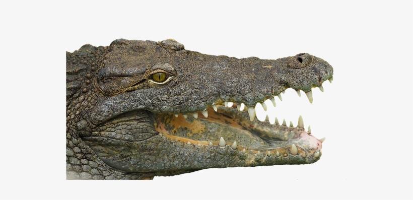 Crocodile,Crocodilia,Nile crocodile,Reptile,Alligator,American.