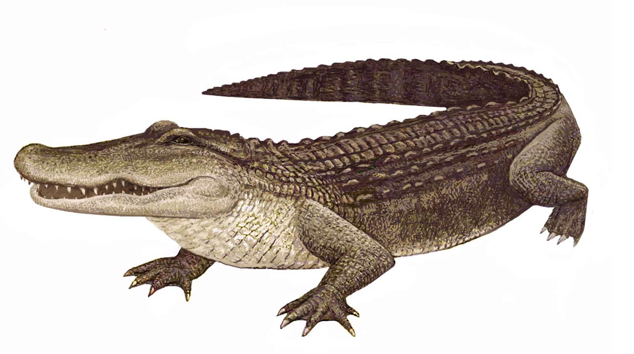 American alligator PNG Images.